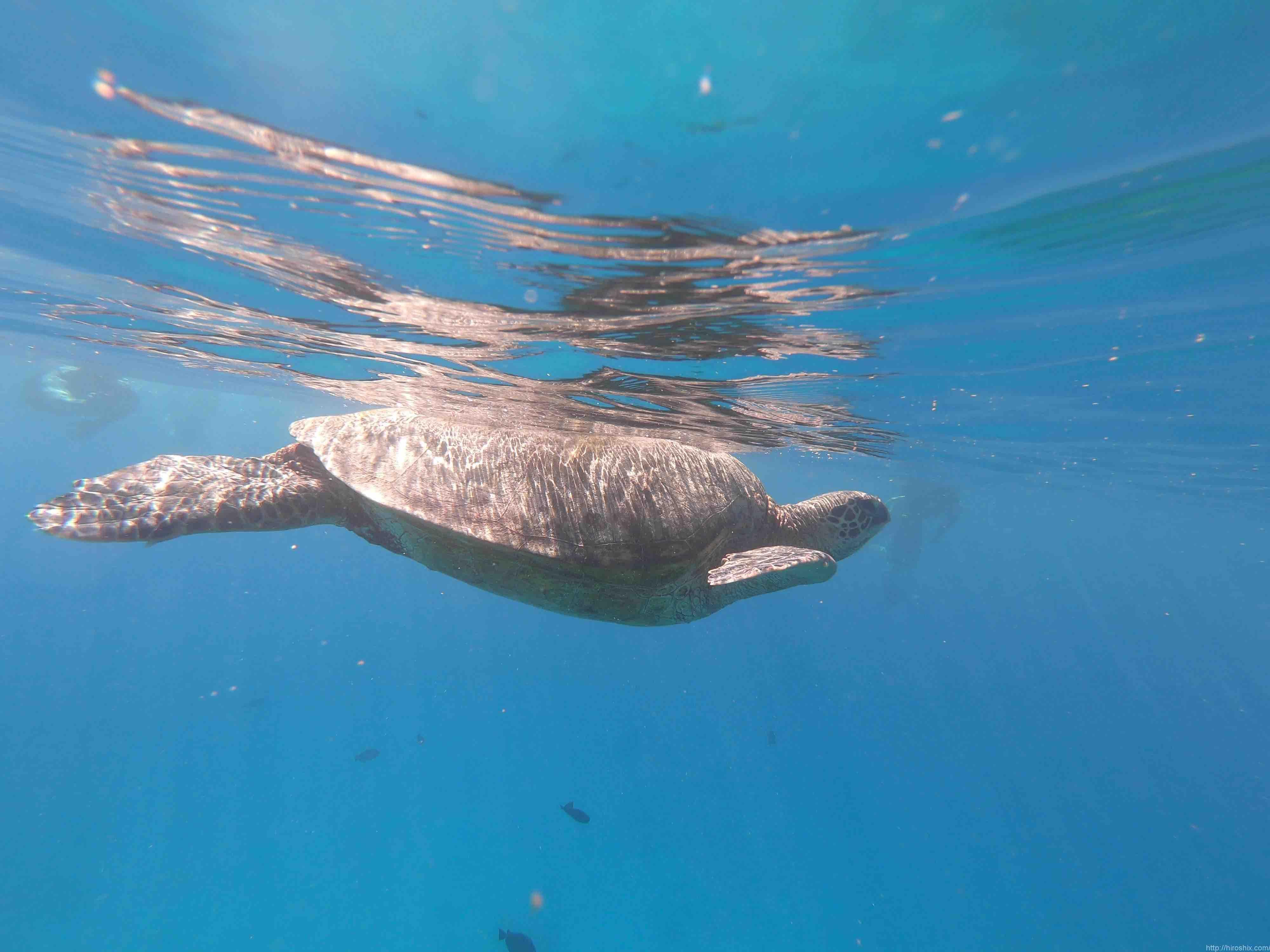 ウミガメと並んで泳げる!マイタイ・カタマラン号でワイキキ沖シュノーケリング【ハワイ】
