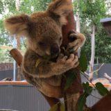 ケアンズでコアラ抱っことカンガルー餌付け、そしてクロコダイル捕獲!【オーストラリア旅行2016】